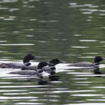 Loons in North River, Algonquin Park.